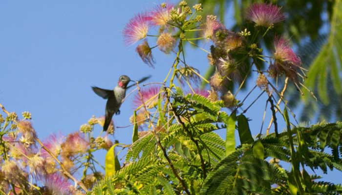 Hummingbird flying in front of a flower
