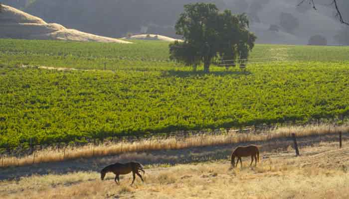 A vineyard with horses in front